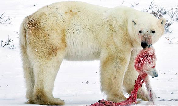 A polar bear with a cub it has killed and partly eaten.jpg