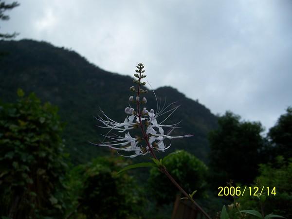 20061214知本森林公園裡的藥草園(貓鬚草).jpg