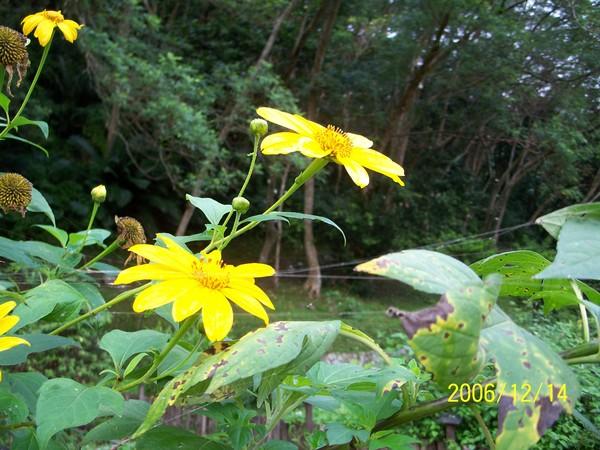 20061214知本森林公園裡的藥草園(五爪金英).jpg