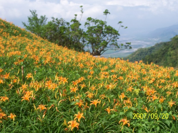 2007/9/20六十石山山嶺上的金針花.jpg