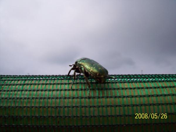 20080526在馬公機場附近所拍攝的金龜子02.jpg