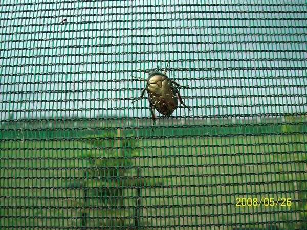 20080526在馬公機場附近所拍攝的金龜子01.jpg