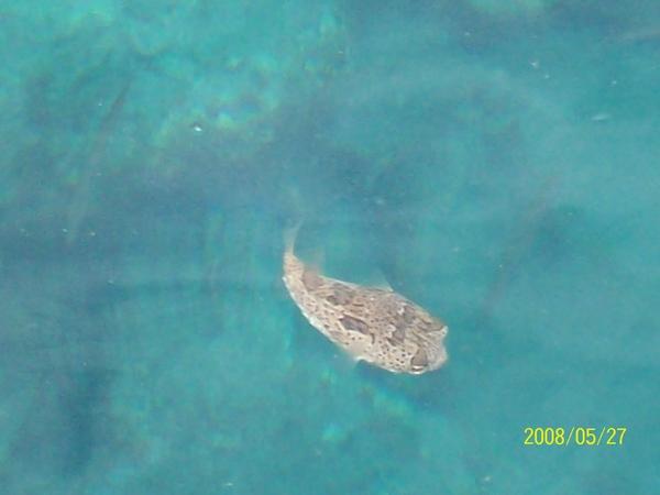 20080527拍攝於七美碼頭(河豚).jpg