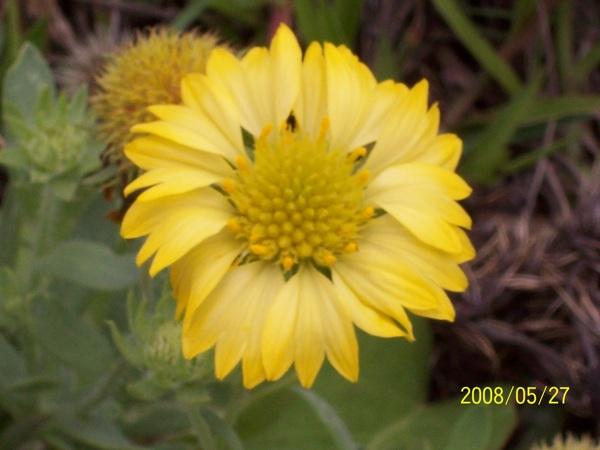 20080527望安島上的黃色天人菊.jpg
