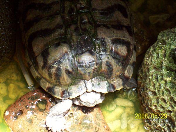 20080529拍攝於傻愛莊(會眨眼的烏龜).jpg