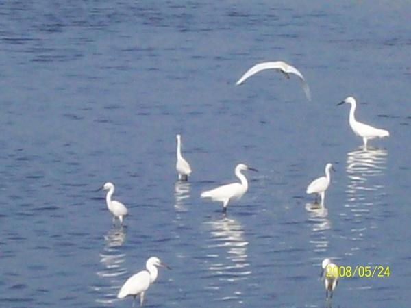 20080524在前往嘉義的61號快速道路旁所拍攝的白鷺鷥05.jpg