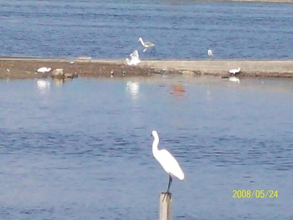 20080524在前往嘉義的61號快速道路旁所拍攝的白鷺鷥03.jpg