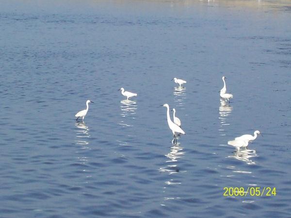 20080524在前往嘉義的61號快速道路旁所拍攝的白鷺鷥2.jpg