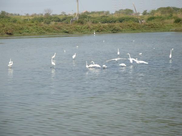 2009年2月17日拍攝於安南區黑面琵鷺23白鷺鷥#水鴨.jpg