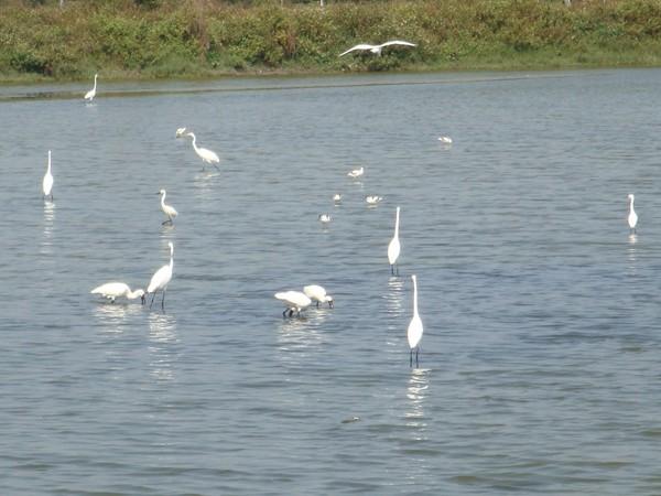 2009年2月17日拍攝於安南區黑面琵鷺36白鷺鷥#水鴨.jpg