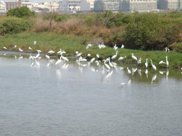 2009年2月17日拍攝於安南區黑面琵鷺81白鷺鷥#水鴨.jpg