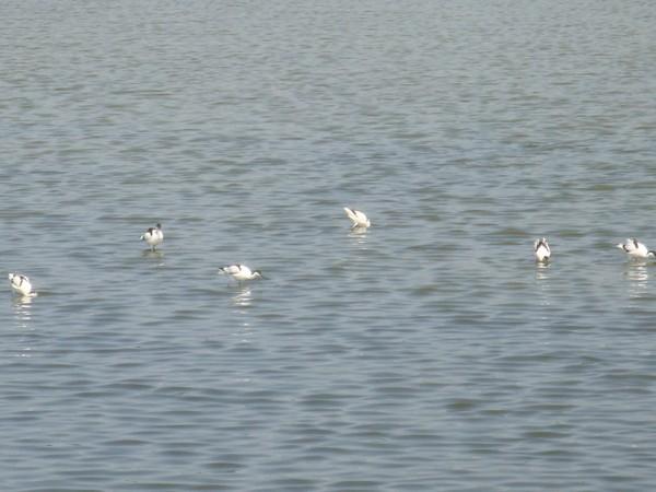 2009年2月17日拍攝於安南區黑面琵鷺63白鷺鷥#水鴨.jpg