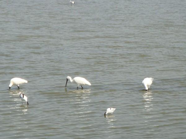 2009年2月17日拍攝於安南區黑面琵鷺77白鷺鷥#水鴨.jpg