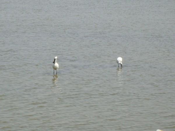 2009年2月17日拍攝於安南區黑面琵鷺12白鷺鷥#水鴨.jpg