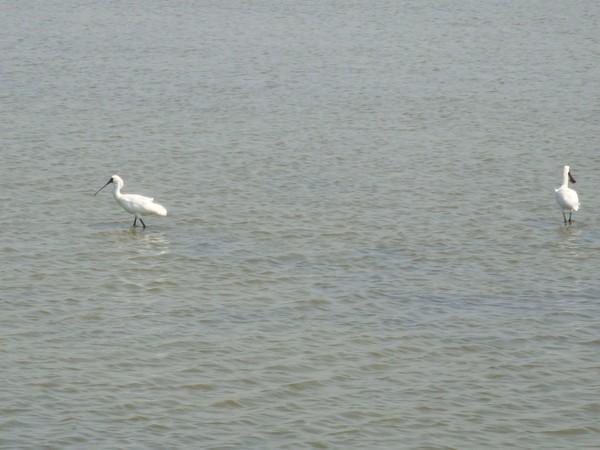 2009年2月17日拍攝於安南區黑面琵鷺9白鷺鷥#水鴨.jpg