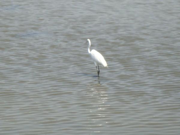 2009年2月17日拍攝於安南區黑面琵鷺92白鷺鷥#水鴨.jpg