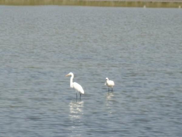 2009年2月17日拍攝於安南區黑面琵鷺49白鷺鷥#水鴨.jpg