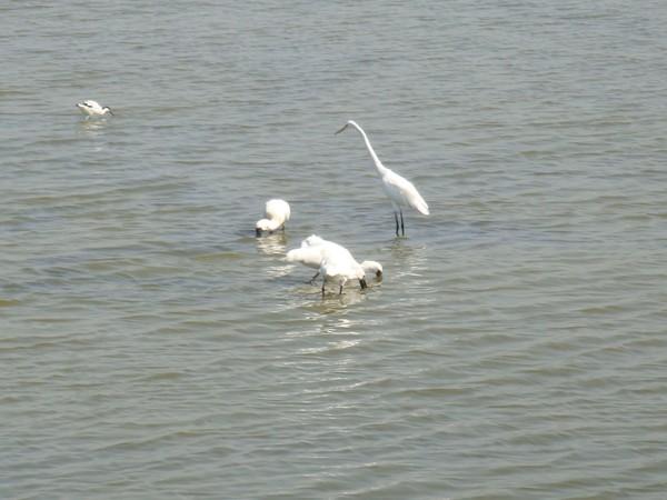 2009年2月17日拍攝於安南區黑面琵鷺73白鷺鷥#水鴨.jpg