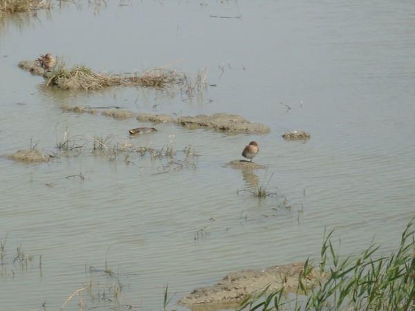 2009年2月17日拍攝於安南區黑面琵鷺95白鷺鷥#水鴨.jpg