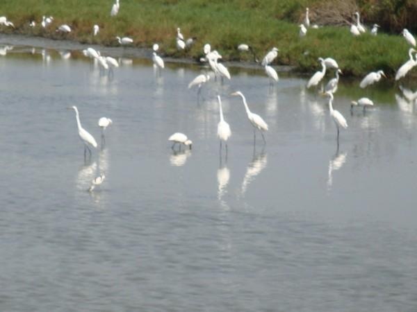 2009年2月17日拍攝於安南區黑面琵鷺90白鷺鷥#水鴨.jpg