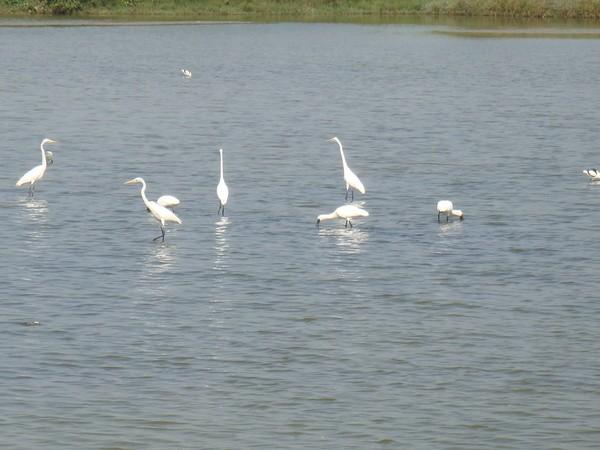 2009年2月17日拍攝於安南區黑面琵鷺22白鷺鷥#水鴨.jpg