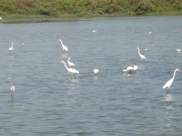 2009年2月17日拍攝於安南區黑面琵鷺28白鷺鷥#水鴨.jpg