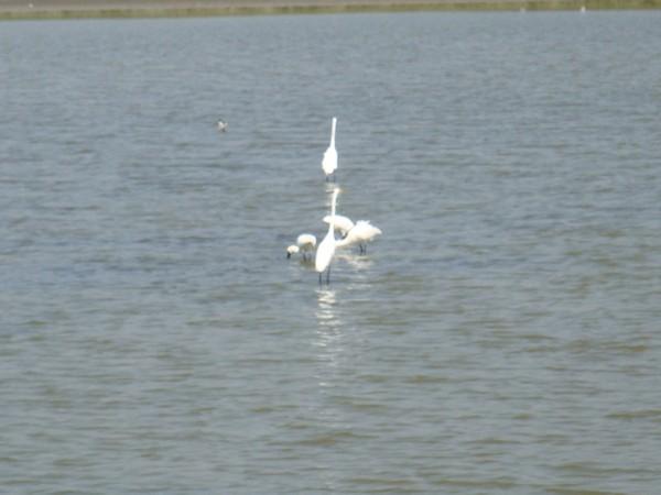 2009年2月17日拍攝於安南區黑面琵鷺19白鷺鷥#水鴨.jpg