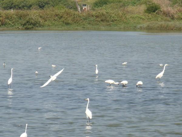 2009年2月17日拍攝於安南區黑面琵鷺32白鷺鷥#水鴨.jpg