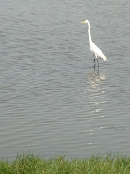 2009年2月17日拍攝於安南區黑面琵鷺84白鷺鷥#水鴨.jpg