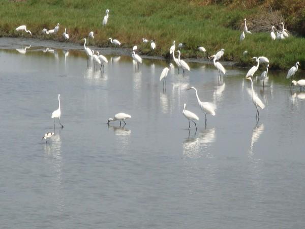 2009年2月17日拍攝於安南區黑面琵鷺88白鷺鷥#水鴨.jpg