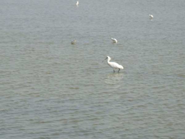 2009年2月17日拍攝於安南區黑面琵鷺1白鷺鷥#水鴨.jpg