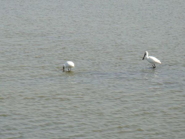 2009年2月17日拍攝於安南區黑面琵鷺7白鷺鷥#水鴨.jpg