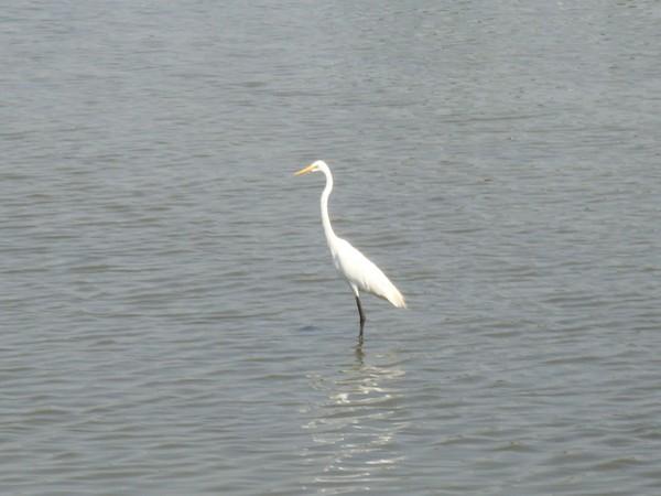 2009年2月17日拍攝於安南區黑面琵鷺83白鷺鷥#水鴨.jpg