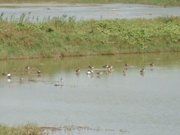 2009年2月17日拍攝於安南區黑面琵鷺97白鷺鷥#水鴨.jpg