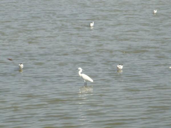 2009年2月17日拍攝於安南區黑面琵鷺75白鷺鷥#水鴨.jpg