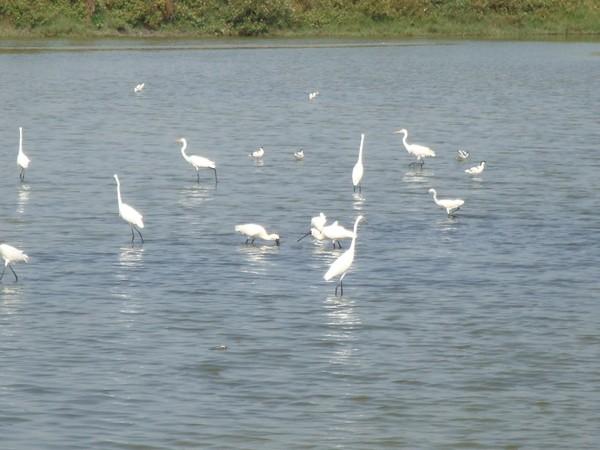 2009年2月17日拍攝於安南區黑面琵鷺27白鷺鷥#水鴨.jpg