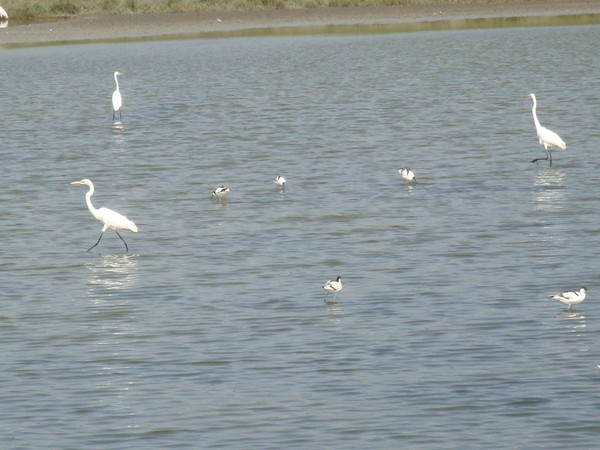 2009年2月17日拍攝於安南區黑面琵鷺46白鷺鷥#水鴨.jpg