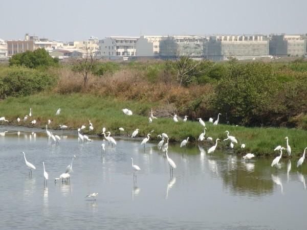 2009年2月17日拍攝於安南區黑面琵鷺91白鷺鷥#水鴨.jpg