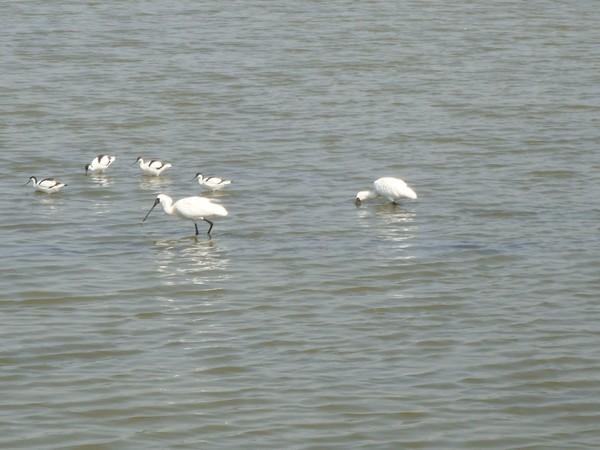 2009年2月17日拍攝於安南區黑面琵鷺78白鷺鷥#水鴨.jpg
