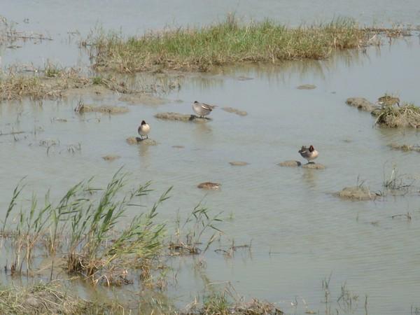 2009年2月17日拍攝於安南區黑面琵鷺98白鷺鷥#水鴨.jpg