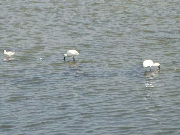 2009年2月17日拍攝於安南區黑面琵鷺41白鷺鷥#水鴨.jpg