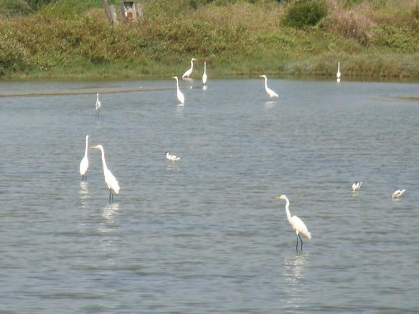 2009年2月17日拍攝於安南區黑面琵鷺47白鷺鷥#水鴨.jpg