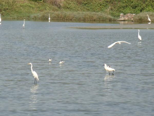 2009年2月17日拍攝於安南區黑面琵鷺48白鷺鷥#水鴨.jpg