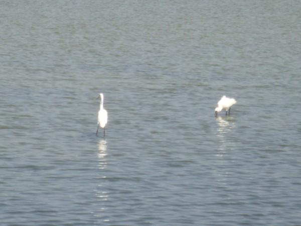 2009年2月17日拍攝於安南區黑面琵鷺10白鷺鷥#水鴨.jpg