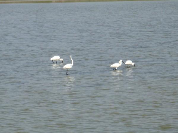 2009年2月17日拍攝於安南區黑面琵鷺18白鷺鷥#水鴨.jpg