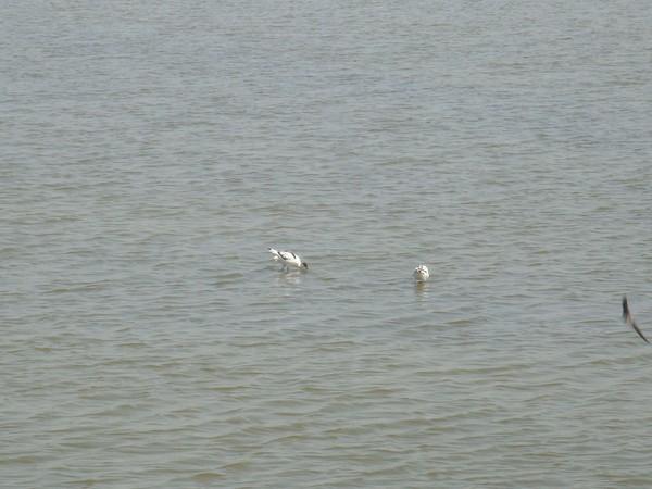 2009年2月17日拍攝於安南區黑面琵鷺65白鷺鷥#水鴨.jpg