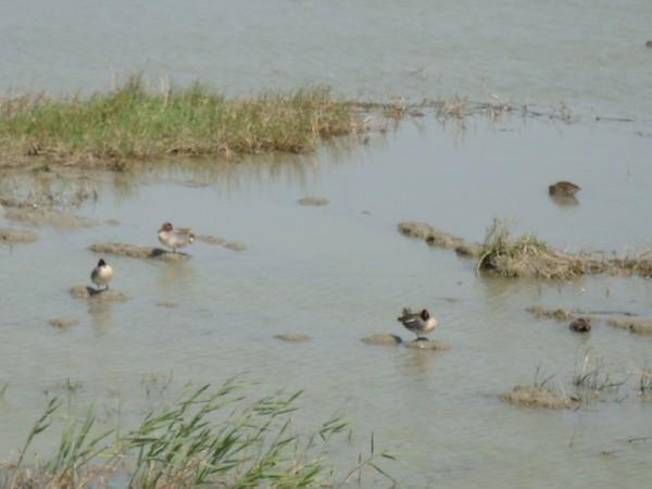 2009年2月17日拍攝於安南區黑面琵鷺99白鷺鷥#水鴨.jpg