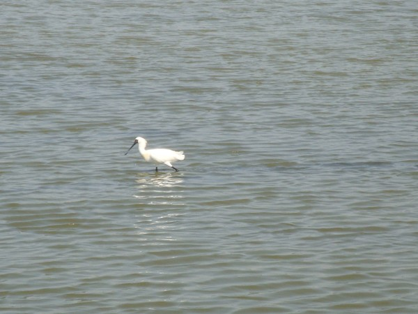 2009年2月17日拍攝於安南區黑面琵鷺14白鷺鷥#水鴨.jpg