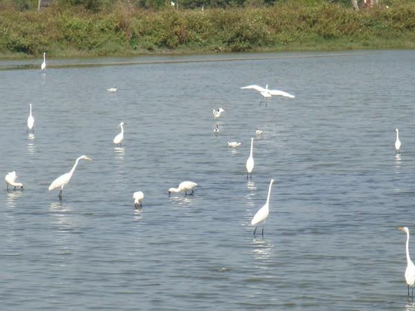 2009年2月17日拍攝於安南區黑面琵鷺35白鷺鷥#水鴨.jpg