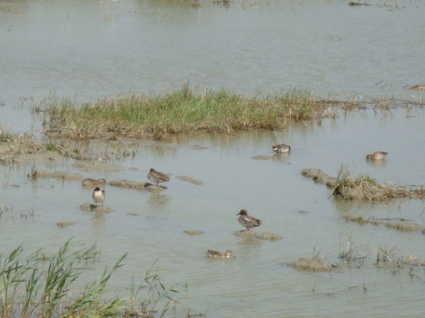 2009年2月17日拍攝於安南區黑面琵鷺105白鷺鷥#水鴨.jpg